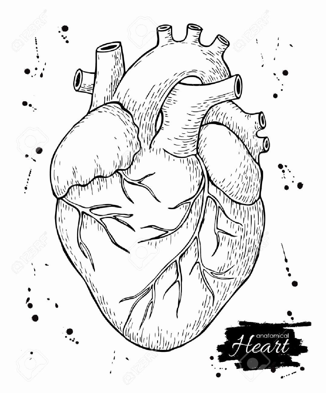 Heart Anatomy Coloring Worksheet Inspirational Heart