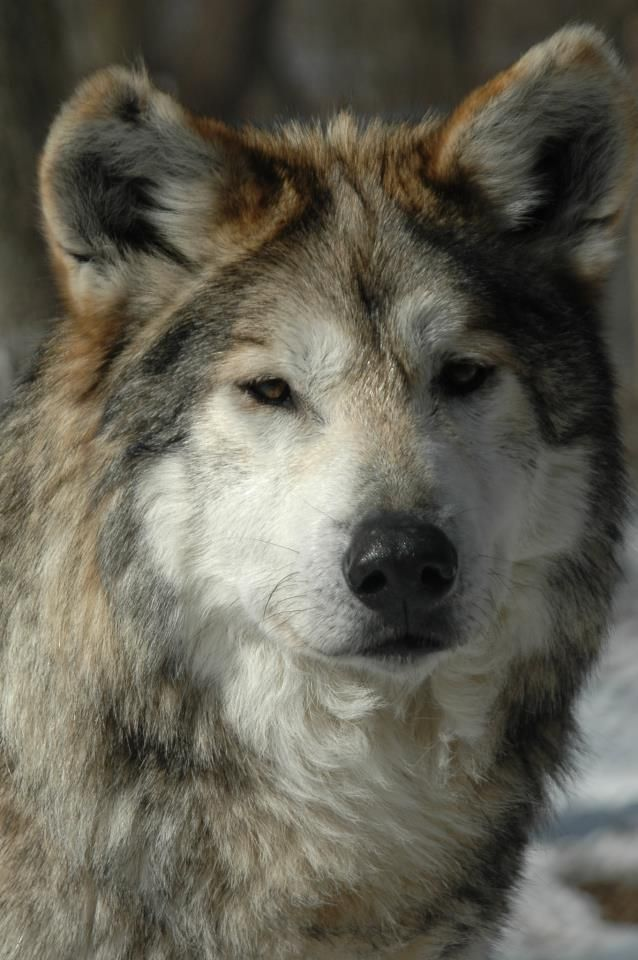 Here is a very moving story of a wolf that lived at the Endangered Wolf Center. The way we feel about these animals is beyond description, but Picaron's story is just one of the many reasons that we are dedicated to saving this important species.