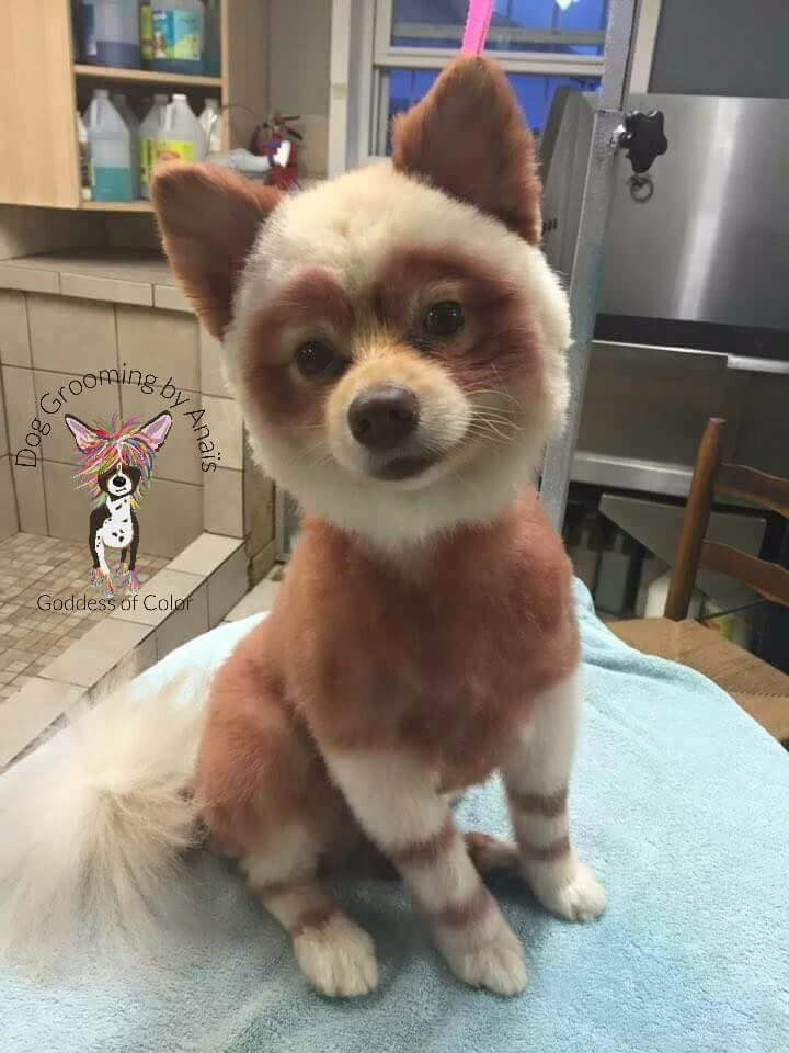 Red Panda Pom Named Papa Extreme Pets Pet Grooming Pets