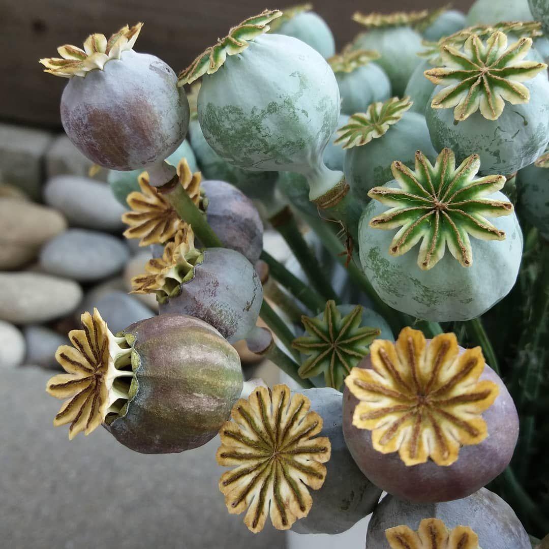 Fur Dieses Jahr Sind Die Letzten Samenkapseln Des Schlafmohns Geerntet Schlafmohn Papaversomniferum Papaver Mohn Mohnliebe In 2020 Mohnblume Schlafmohn Blumen