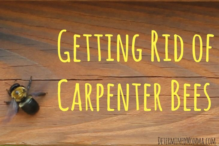 Getting Rid Of Carpenter Bees Determined Momma Carpenter Bee Bee How To Get Rid