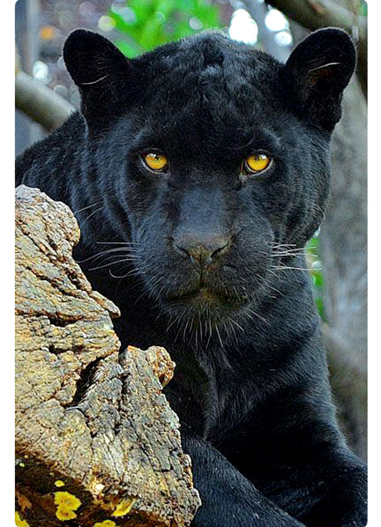 Black panther watching with golden eyes. These big cats ...