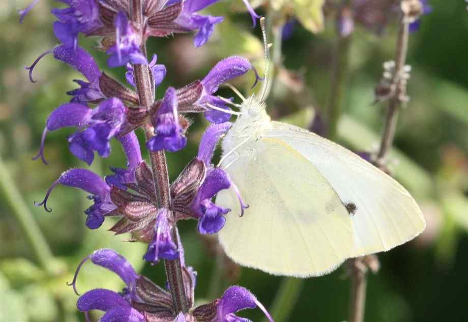 """Sense my mom's passing there has been a single white butterfly that appears in both my backyard or front yard when I am outside. I always say """"Hi Mom"""" when I see her!"""