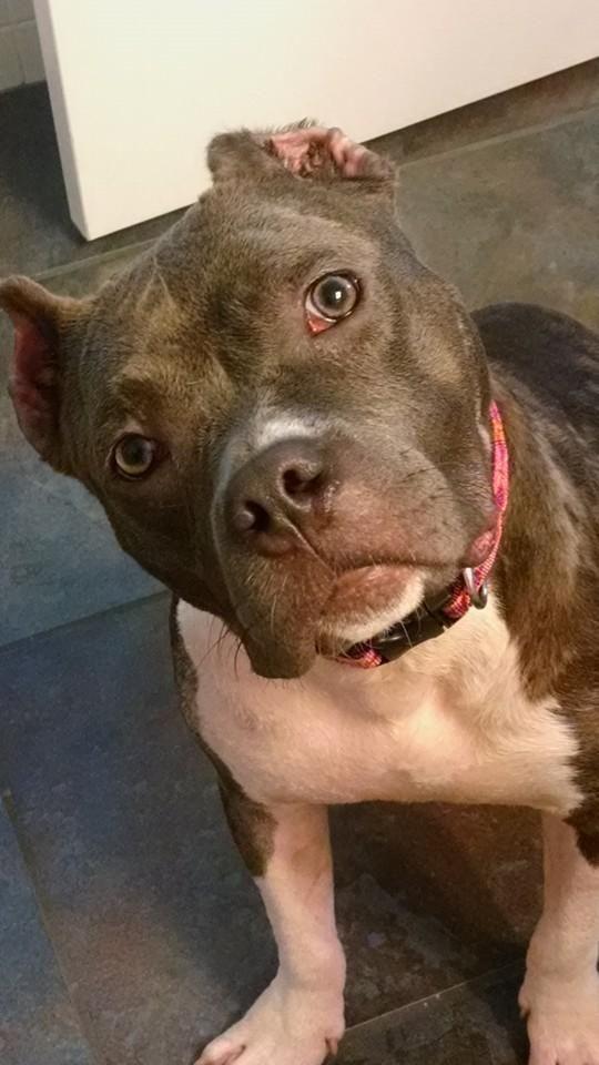 Adopt Mica On Apbt Bully Breeds Dogs Adoption Cute Animal Photos