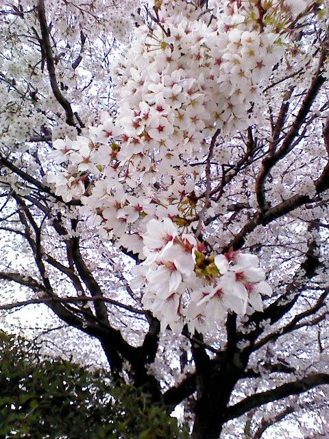 Japanese Cherry Blossom Trees Japanese Cherry Blossom Cherry Blossom Tree Beautiful Tree