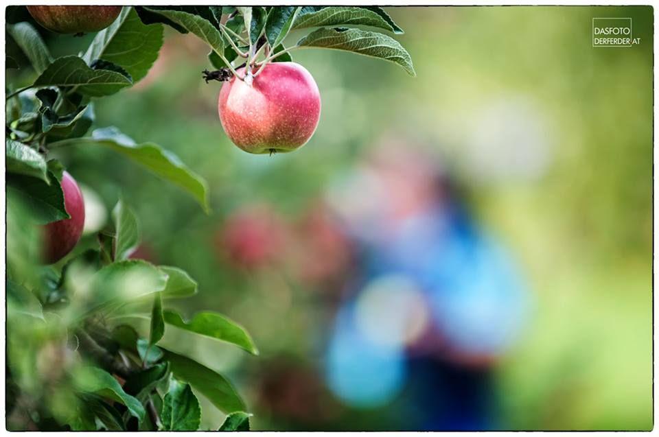 Apfelernte — hier: Riegersburg, Steiermark, Austria.