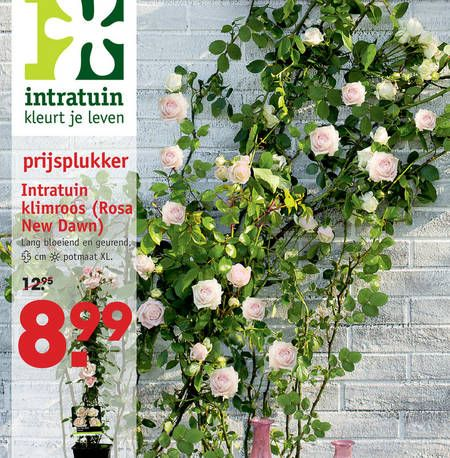Klimroos rosa new dawn lang bloeiend hoogte 55 cm voor for Schutting intratuin
