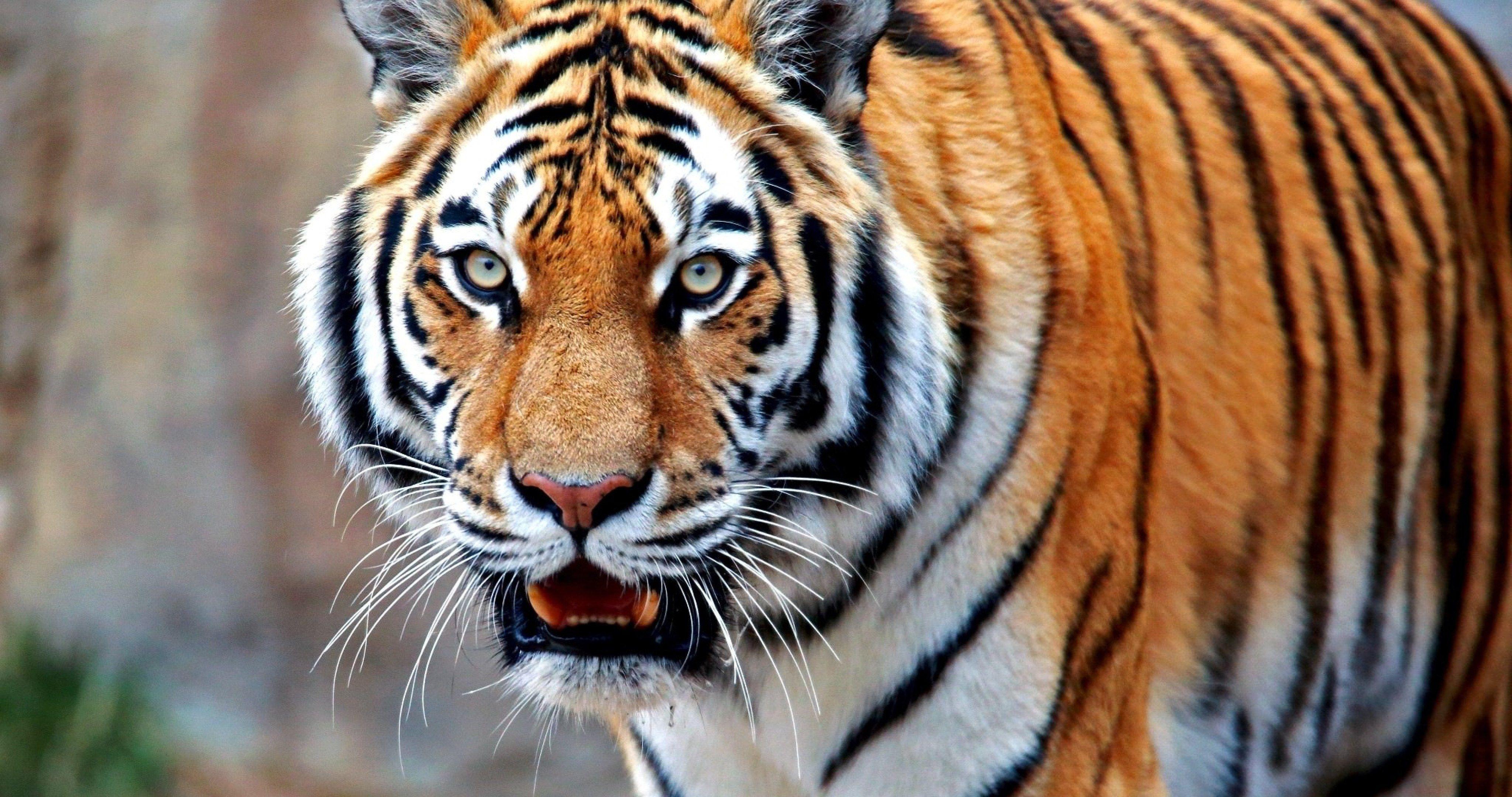 Colorful Tiger 4k Ultra Hd Wallpaper Tiger Hd Wallpaper Wallpaper