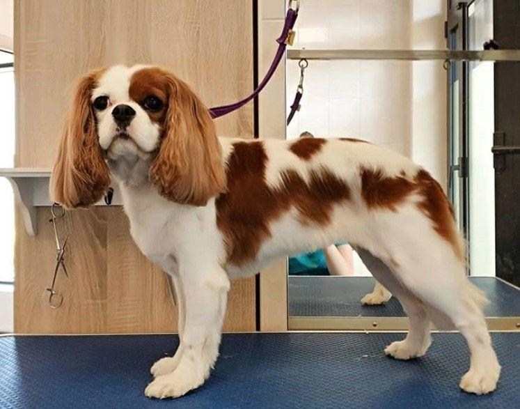 Cavalier King Charles Spaniel Haircut King Charles Cavalier