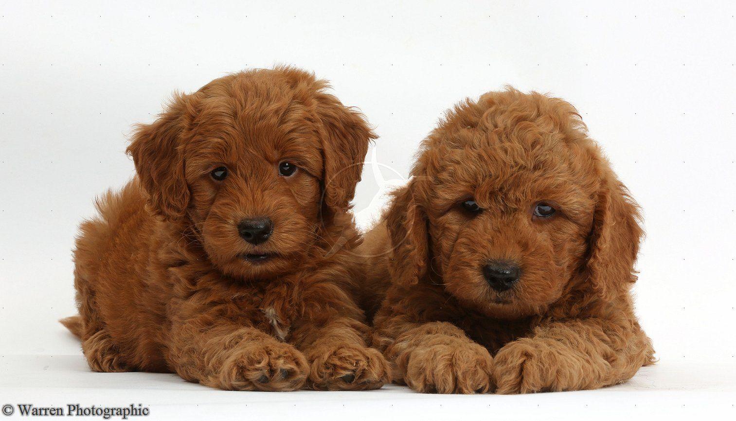 Cute F1b Goldendoodle puppies F1b goldendoodle