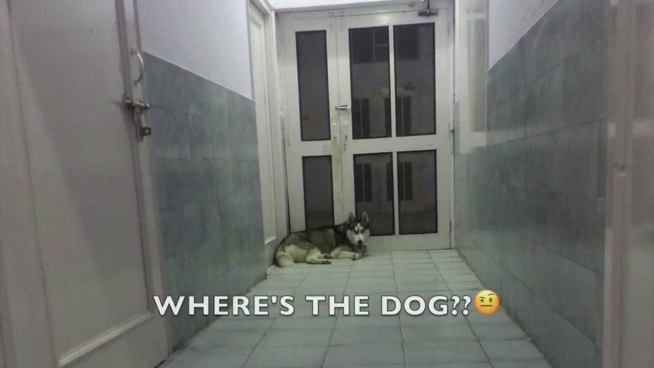 Husky Buries Head In Box Husky Bury Siberian Husky