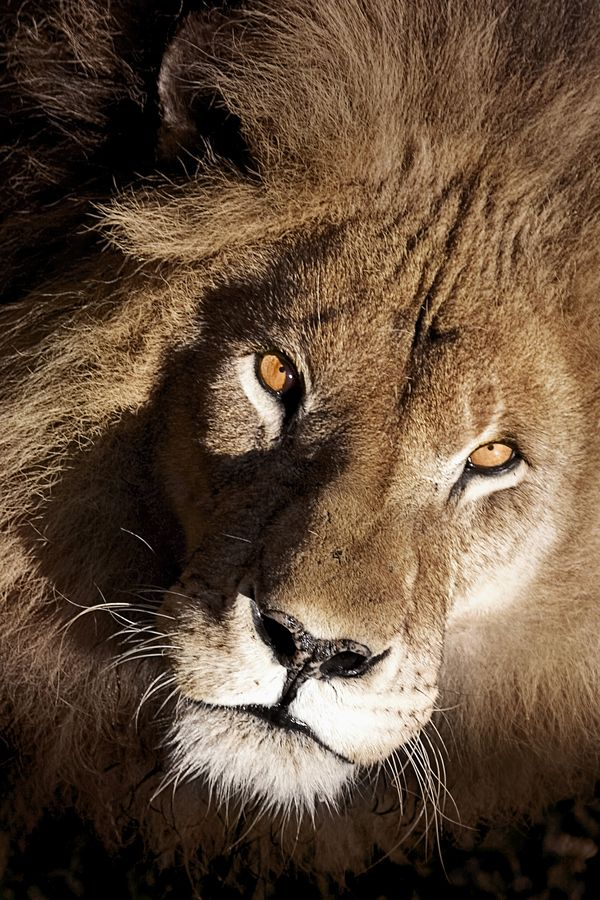 Gorgeous Animals Lions Are Some Of My Favorite