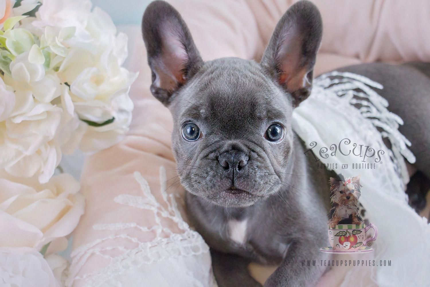 Blue Frenchie Puppy By Teacups Frenchies French Bulldog French
