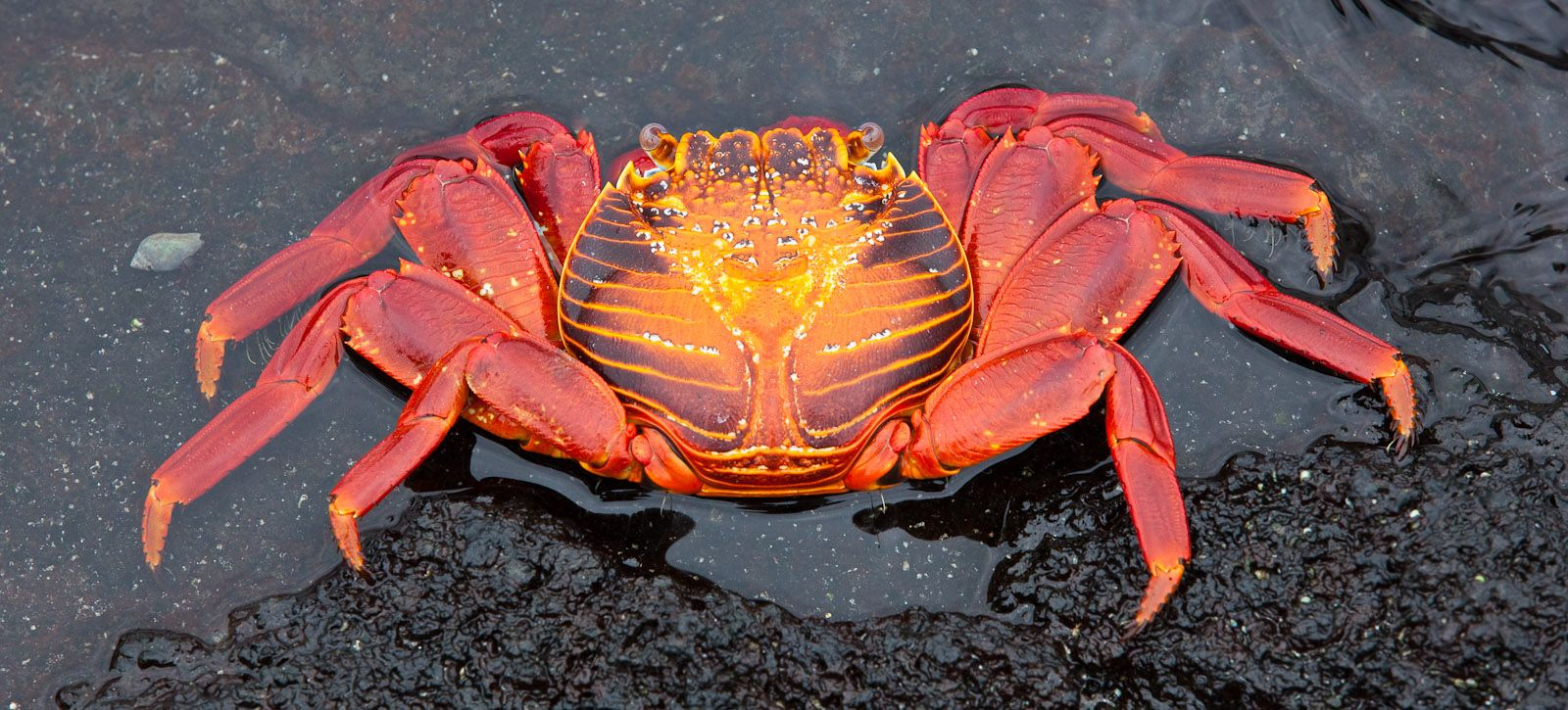 """Sally Lightfood Crab - Is one of the most common Crabs along the Western Coast of the Americas. It is known variously as, """"Red Rock Crab"""",  """"Sally Lightfoot""""."""