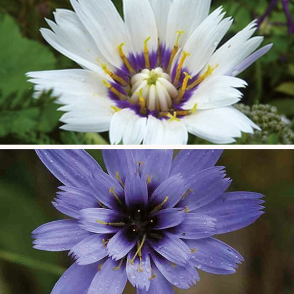 Catananche caerula is a long flowering perennial and very tough catananche caerula is a long flowering perennial and very tough established plants supplied in mightylinksfo