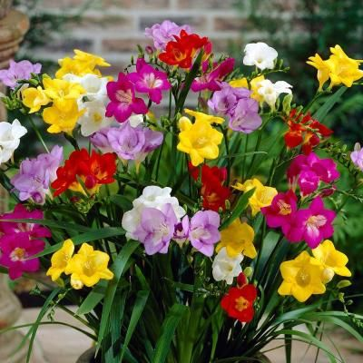 Freesia Single Mix Dormant Bulbs 36 Pack 70290 The Home Depot Freesia Flowers Bulb Flowers Lavender Flowers