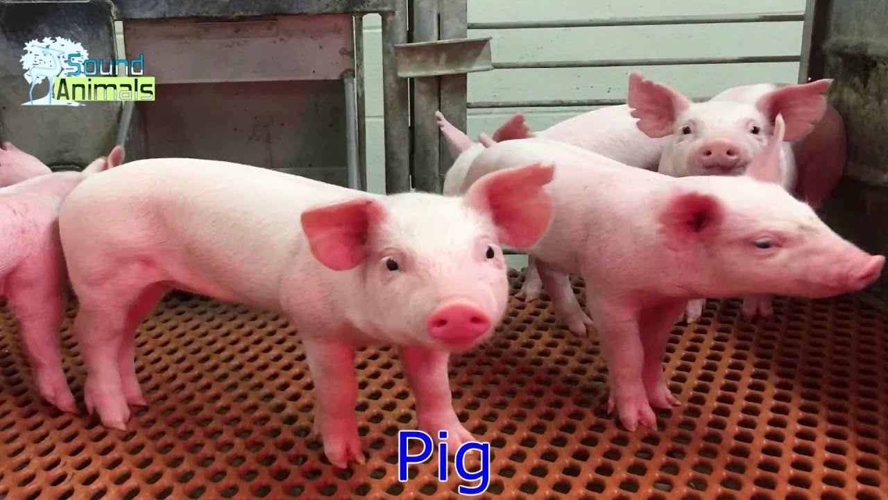Pig sound for kids   Pig sounds, Pig, Animals for kids