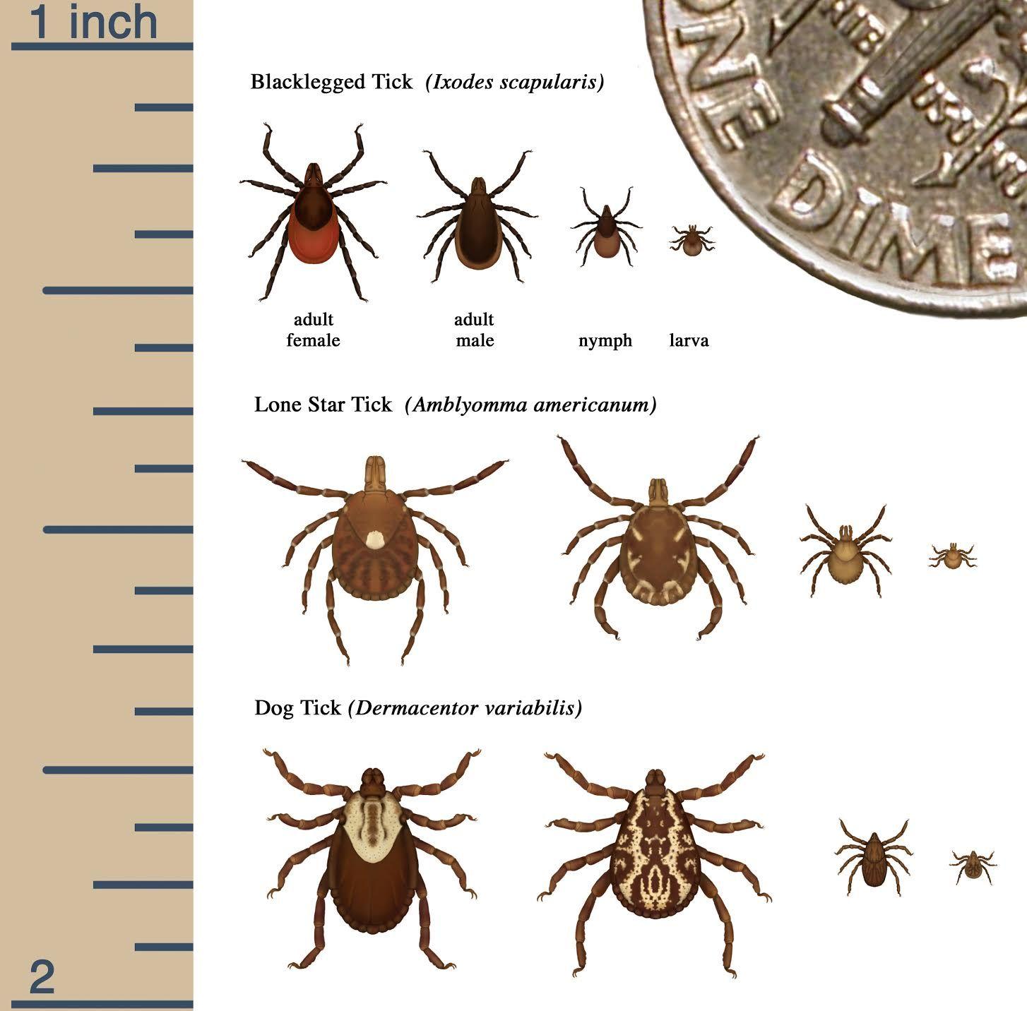 Ticks.jpg Chasse au cerf, D.o., Chien