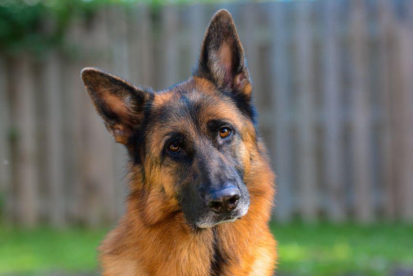 Beauty defined the german shepherd dog red german