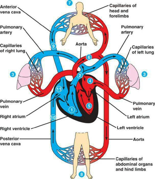 Pulmonary & Systemic Circulation. | Human circulatory ...