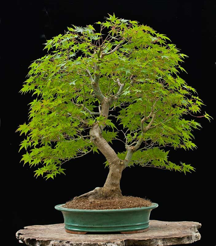 A nice japanese maple bonsai tree acer palmatum unusual for Unique bonsai trees