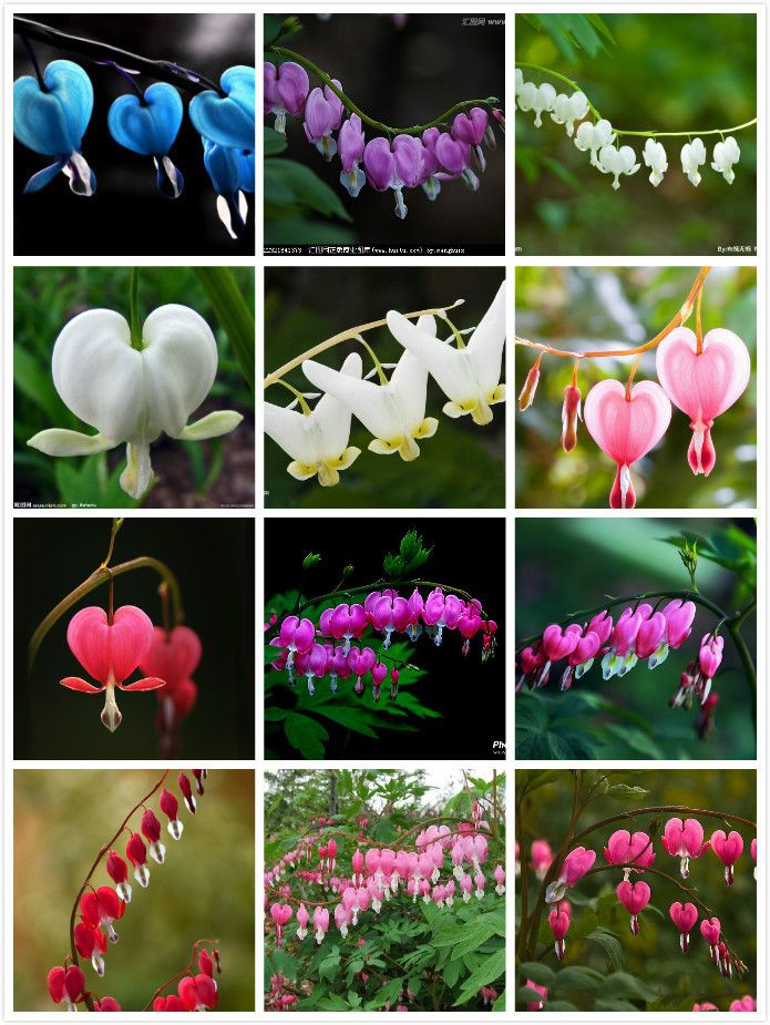 50 Pcs Bag Bicuculline Seeds Dicentra Spectabilis Variety Complete The Budding Rate 95 Mixed Colors In Cottage Garden Plants Bleeding Heart Cottage Garden