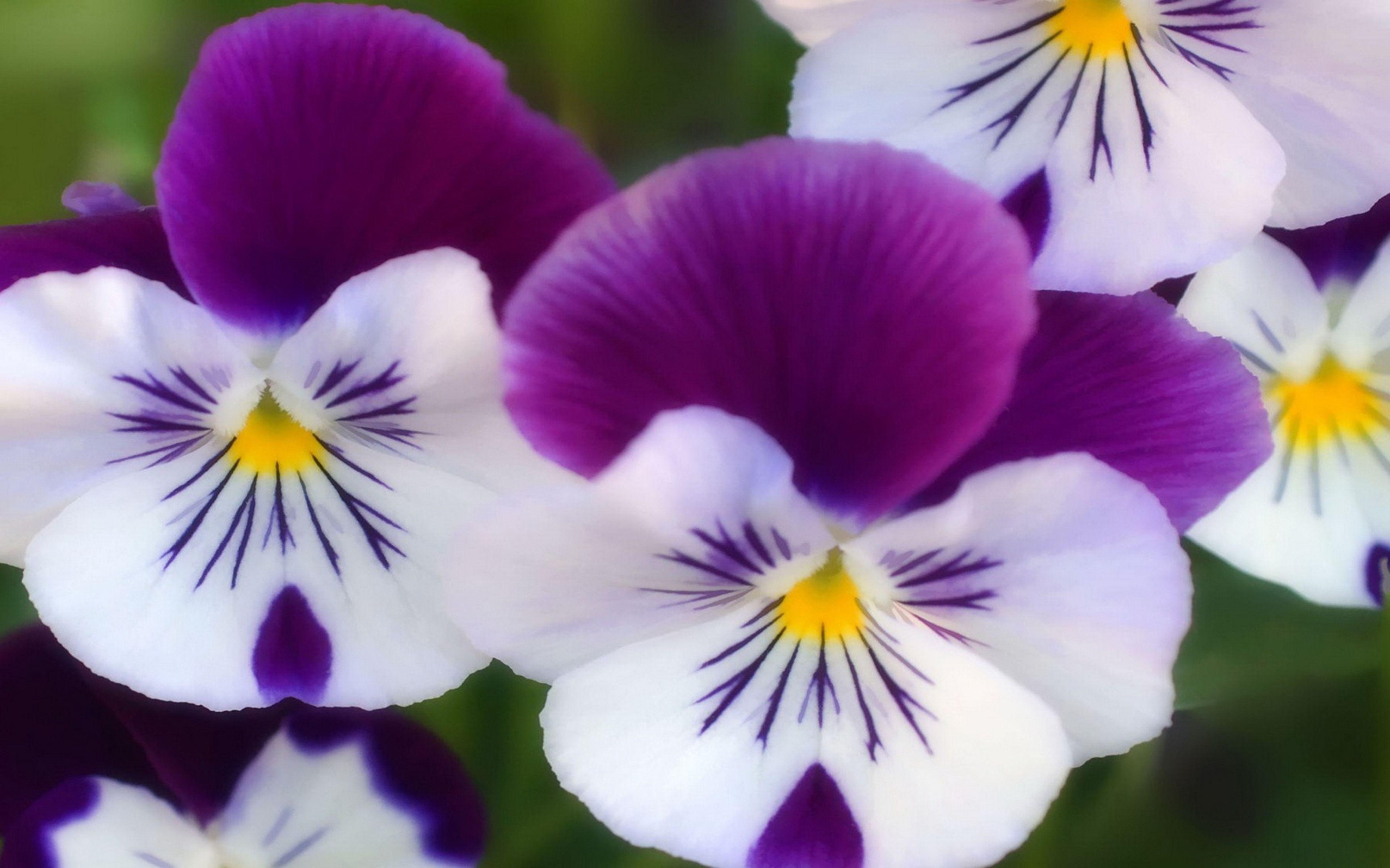 Purple Flowers 4k Ultra Hd Wallpaper Purple White Yellow