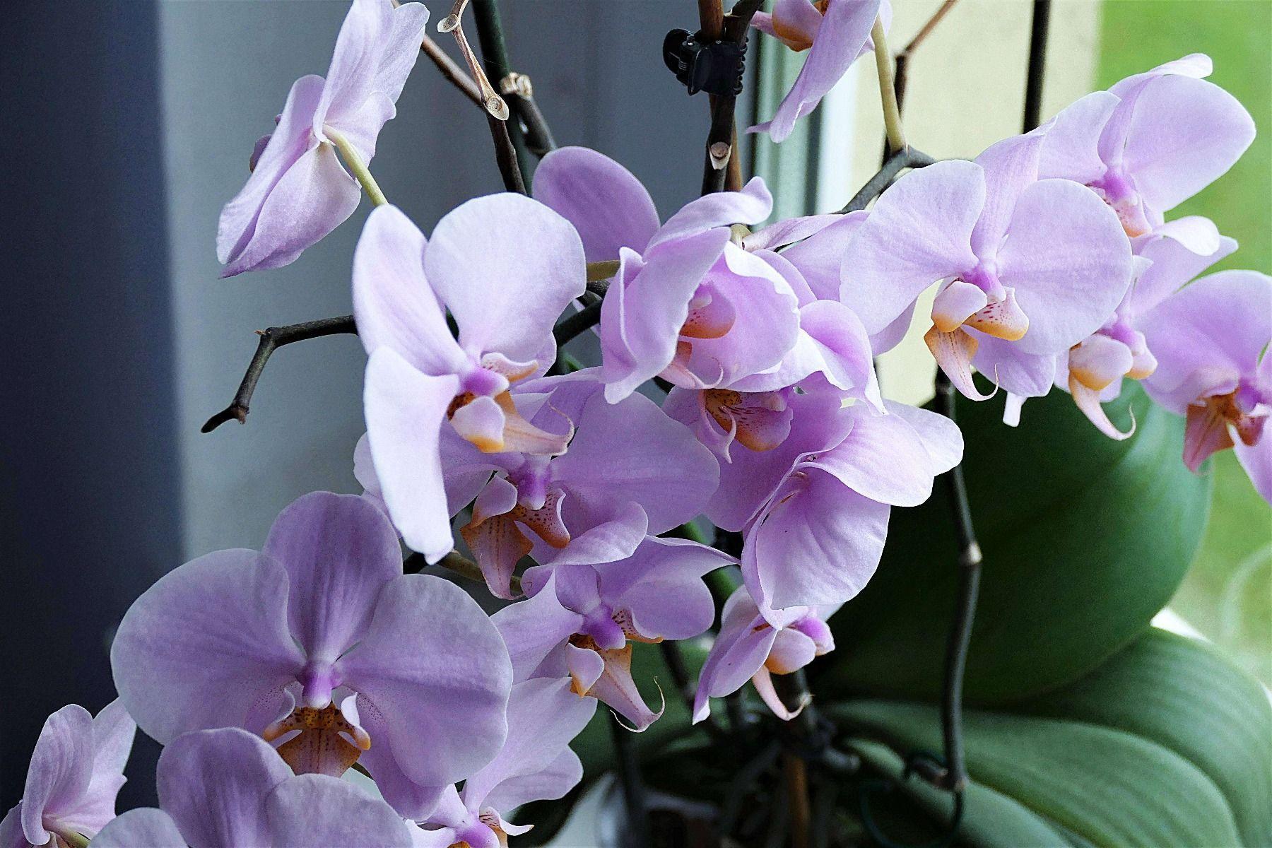 Variete Orchidee En 2020 Orchidee Arrosage Des Orchidees Culture Des Orchidees