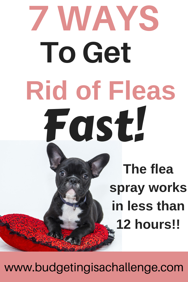 Signs Of Fleas In Cats How To Prevent and Treat Flea
