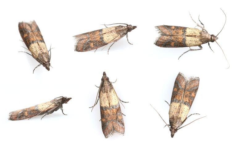 How To Get Rid Of Pantry Moths Pantry Moths Pantry Moth Larvae Pantry Bugs