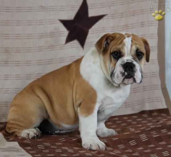 Chance English Bulldog Puppy For Sale In Christiana Pa
