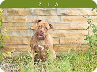 Toronto On American Bulldog Dogue De Bordeaux Mix Meet Zia A