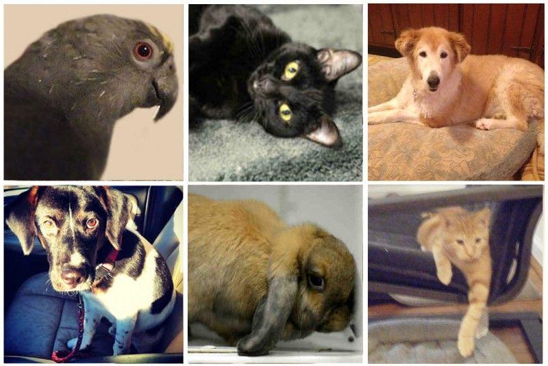 Shelter Sunday For 11 24 2013 Pets Shelter American Shorthair
