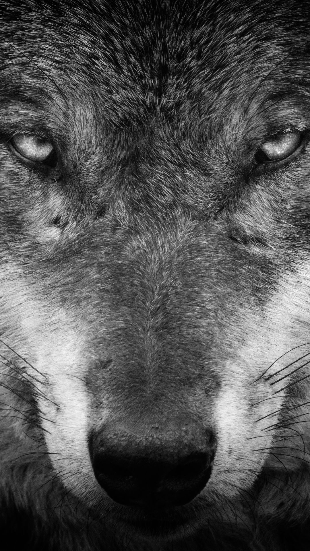 Wolf Android Iphone Desktop Hd Backgrounds Wallpapers 1080p