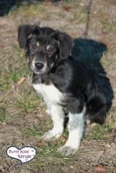 Adopt Rocky 2017 3 Aka Chip On Border Collie Collie Dogs