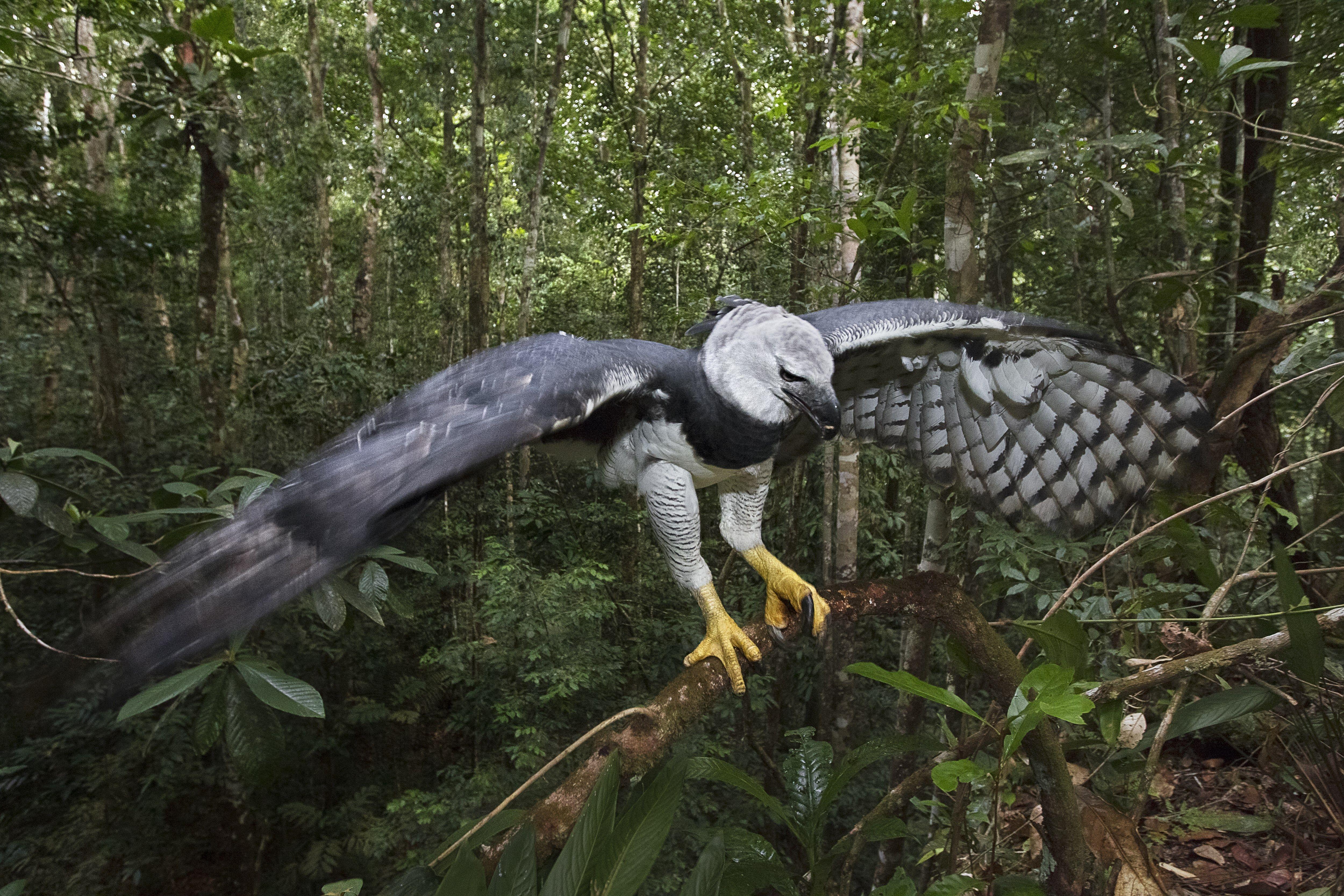 La harpie, monstre mythologique à tête de femme sur un corps d oiseau, a  donné son nom à l un des plus puissants rapaces au monde   l aigle harpie,  ... fb70981c18f