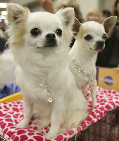 10 Cool Facts About Chihuahuas Chihuahua Dogs Chihuahua Cute