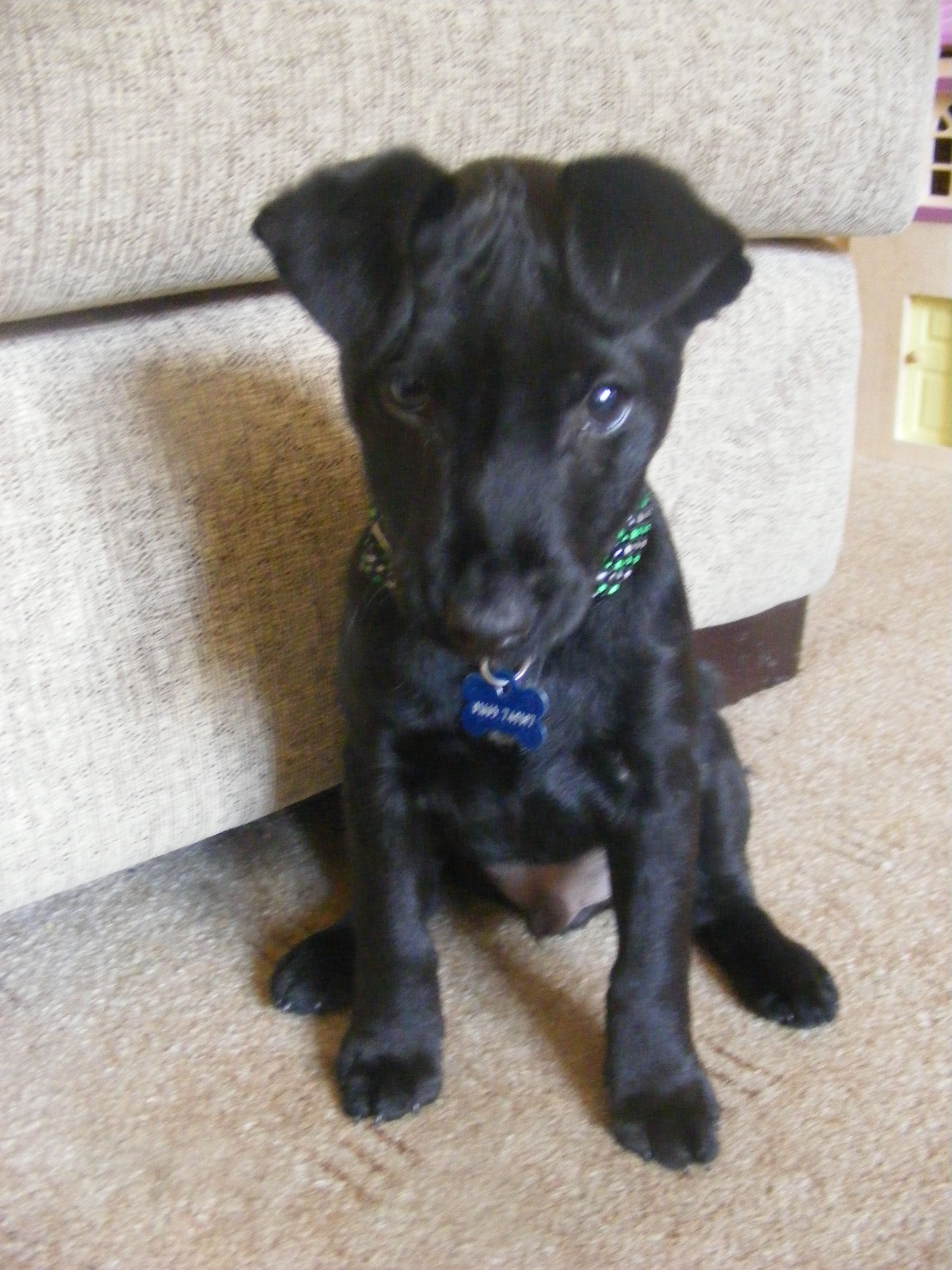 Seeley Patterdale Terrier Crazy Dog Cute Baby Animals