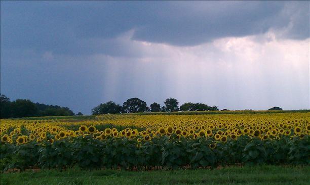 Sunflower Field In Cartersville Ga So Pretty