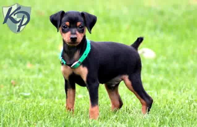 Min Pin Chihuahua Mix Puppies For