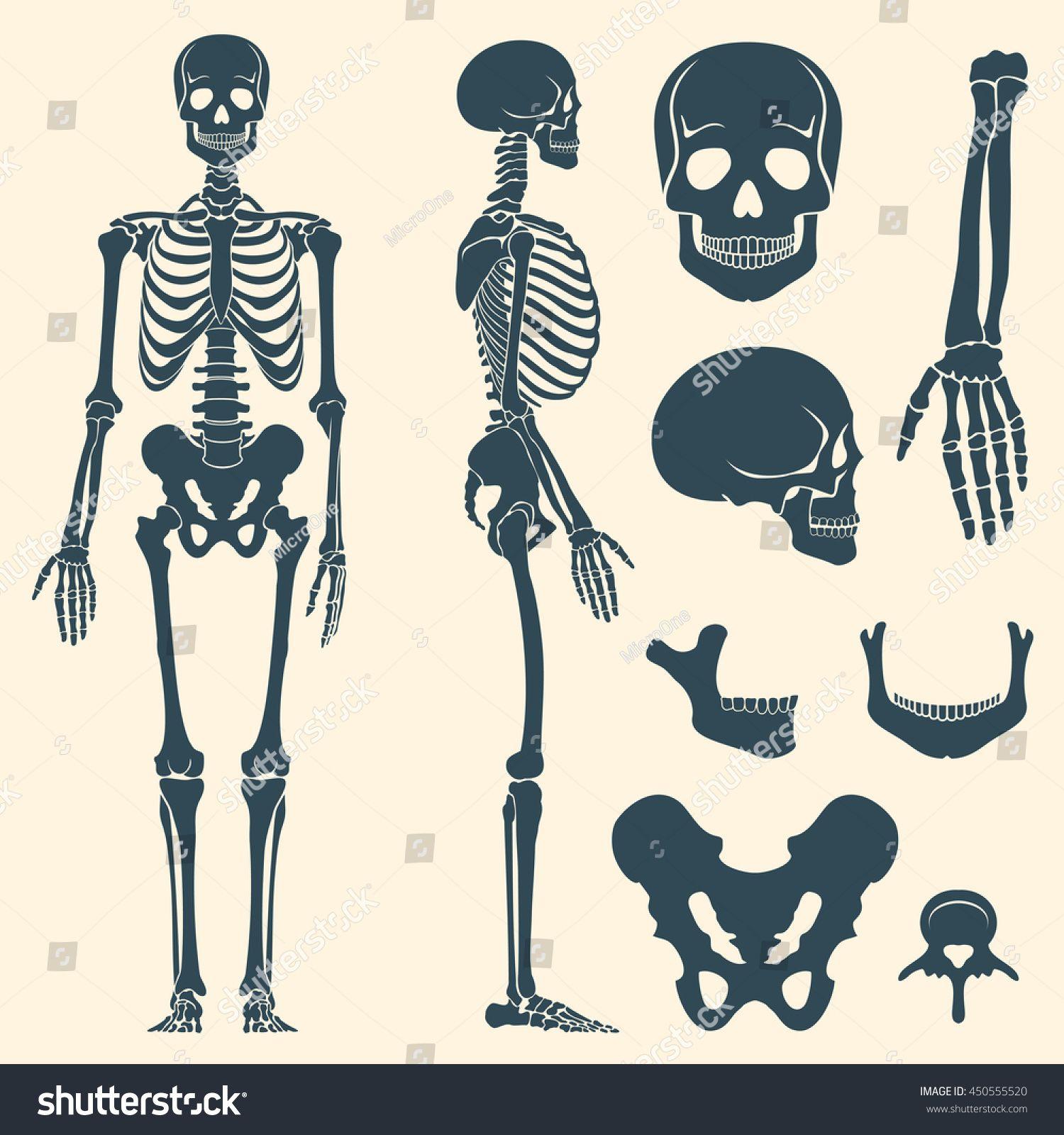 Human Bones Skeleton Silhouette Vector Bone Set Illustration Spine