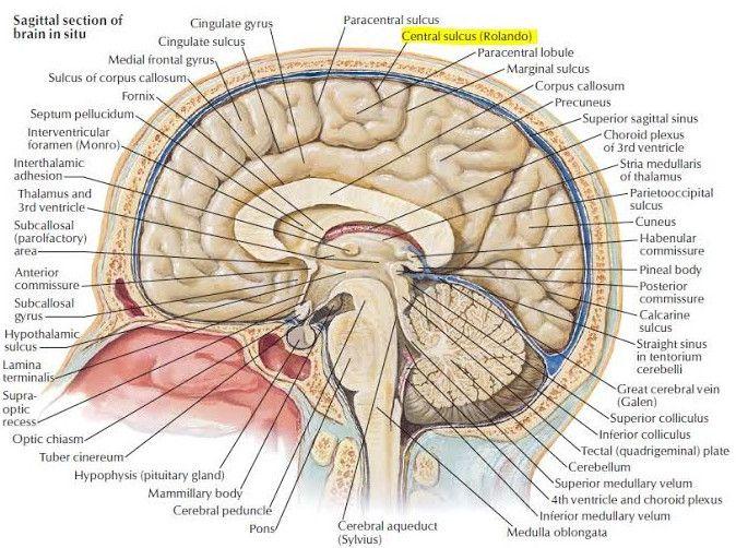 Medial View Of Cerebral Hemisphere Science Biology Pinterest