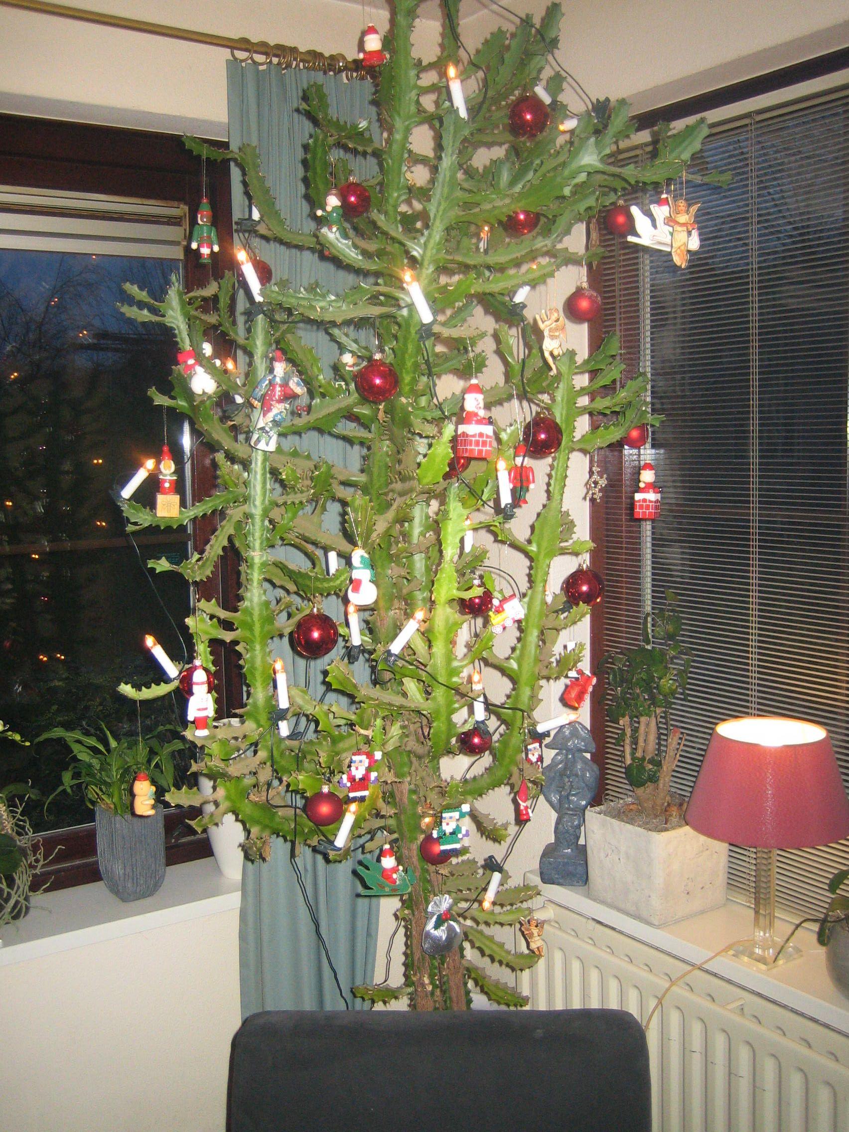 Dit is onze cactus kerstboom in 2015. Oma van Delft nam 42 jaar ...