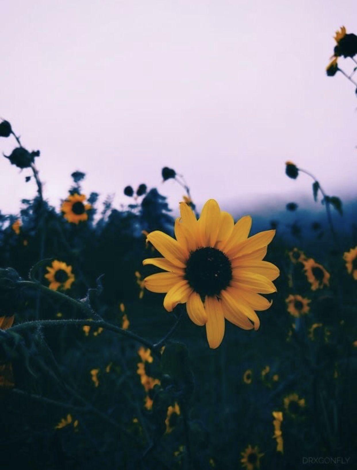 Pin By Emily Orzehoski On Vsco Wall Ideas Aesthetic Photography Flower Aesthetic Sunflower Wallpaper
