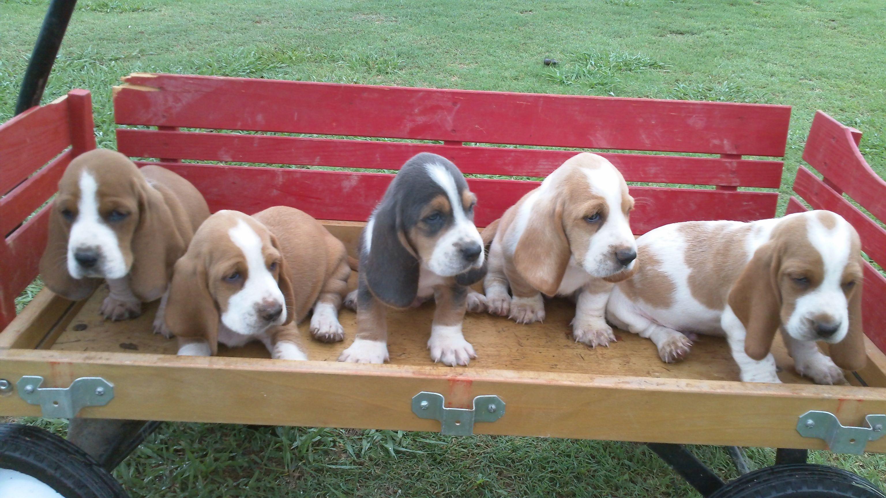My Basset Hounds Puppies Basset Hound Puppy Bassett Hound
