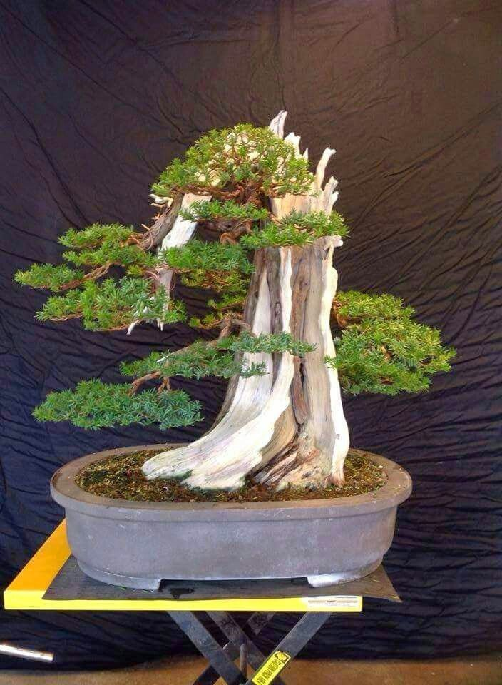 Bonsai More At FOSTERGINGER Pinterest Bonsai tree