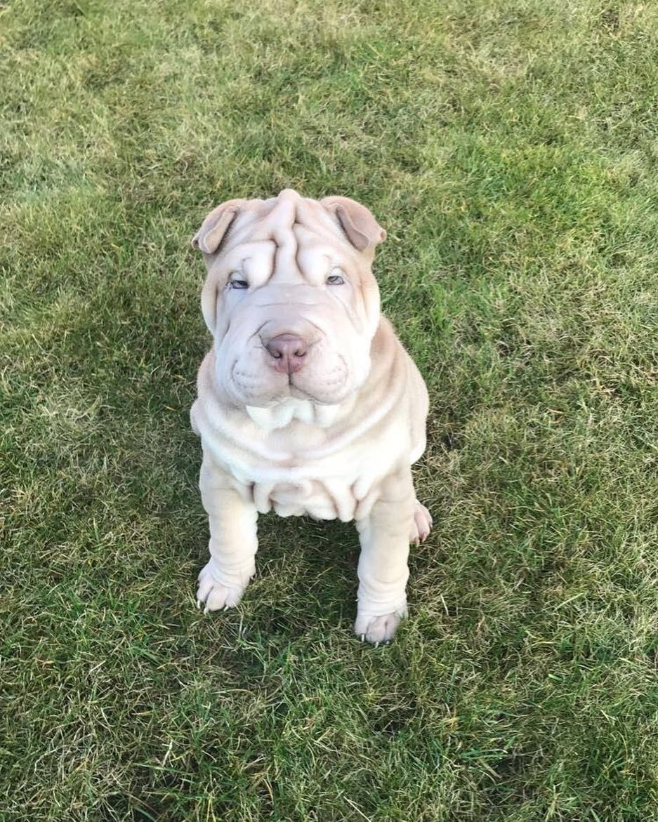 Easiest Dog Breed To House Train Shar Pei Dog Breeds House Training Puppies Dogs