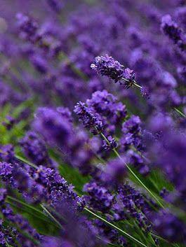 Vins Class 1818 Google Lavender Flowers Lavender Plant Lovely Lavender