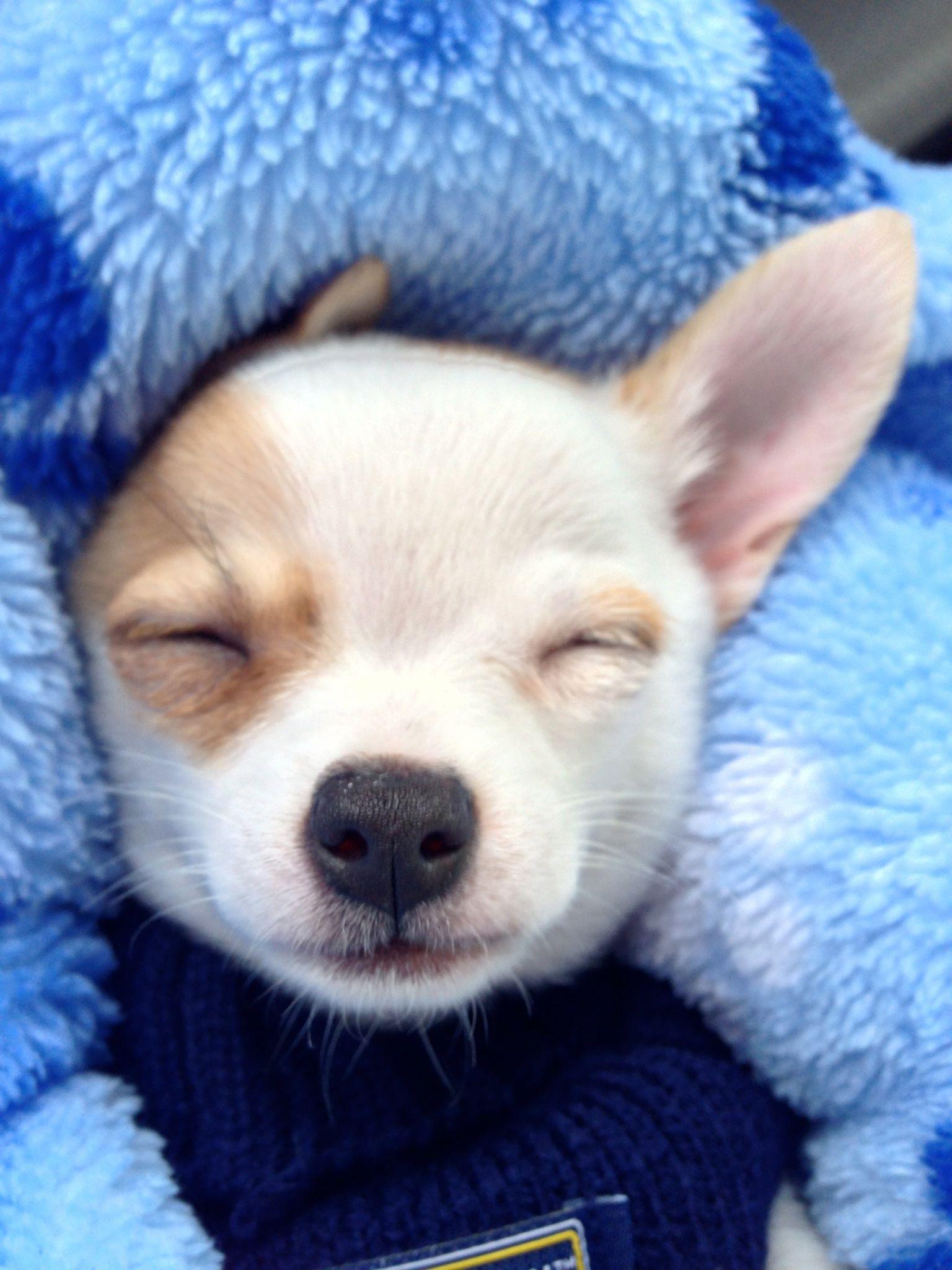 Shhhh....I'm sleeping. Chihuahua puppy Reilly. Chihuahua