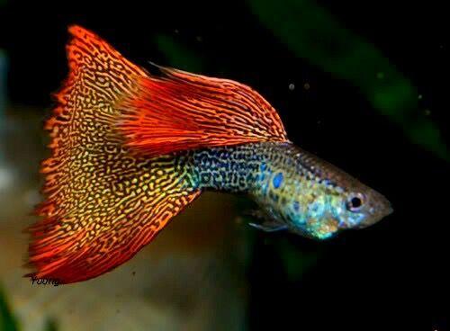 Fancy Male Guppy Guppy Fish Guppy Aquarium Fish